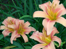 daylily-bloom-coral-a-06-05-07