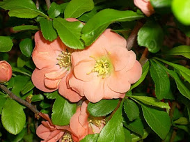 flowering quince cameo a 03 28 08