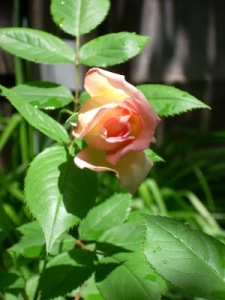 Rose Janet 04 25 10 c