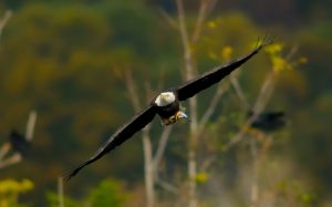 bald-eagle-fly
