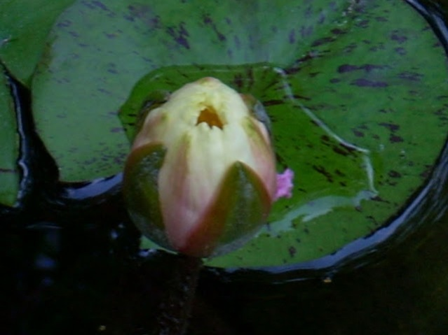 water lily bud 07 03 08 a